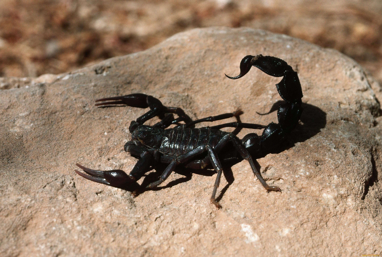 Черные скорпионы картинки